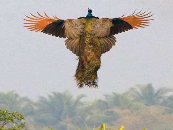 The Flight of the Peacock
